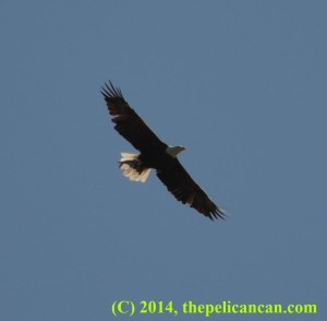A bald eagle (Haliaeetus leucocephalus) clutching a fish while flying at White Rock Lake in Dallas, TX
