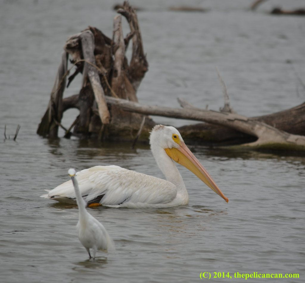A pelican (american white pelican; Pelecanus erythrorhynchos) swimming at White Rock Lake in Dallas, TX