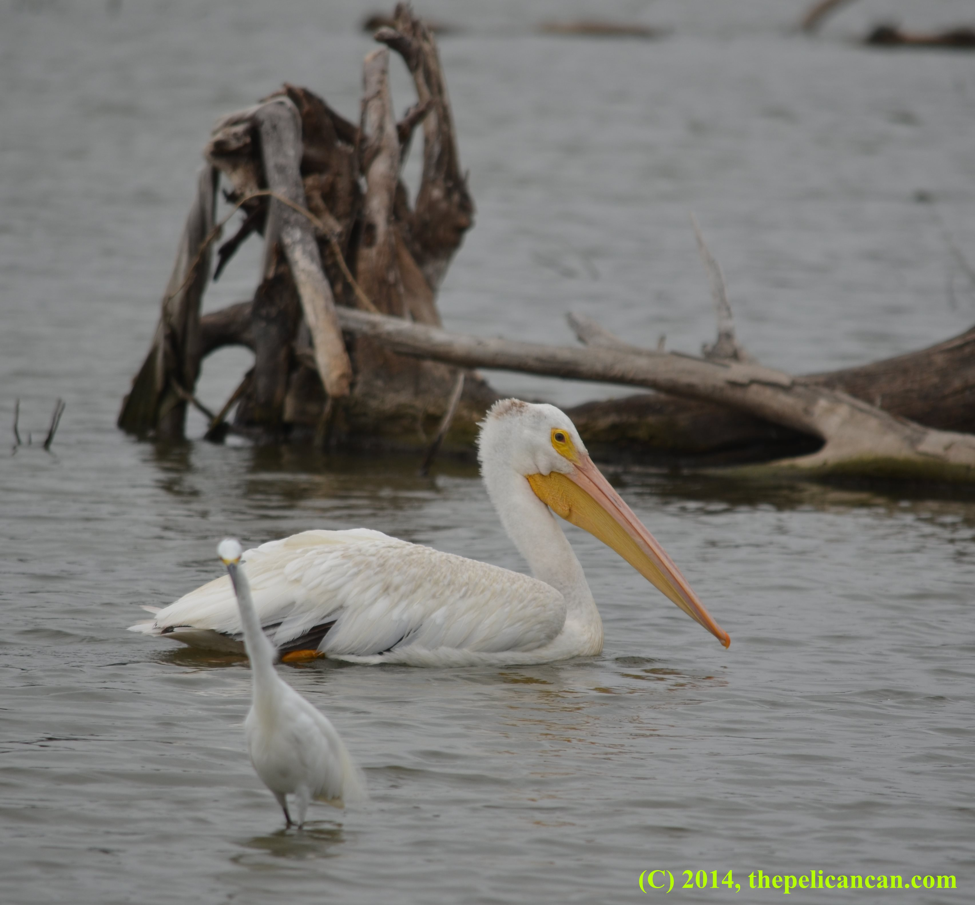 Pelicans Pelecanus Erythrorhynchos: American White Pelican