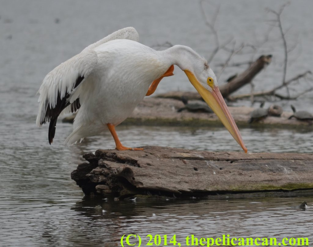 A pelican (american white pelican; Pelecanus erythrorhynchos) scratching at White Rock Lake in Dallas, TX