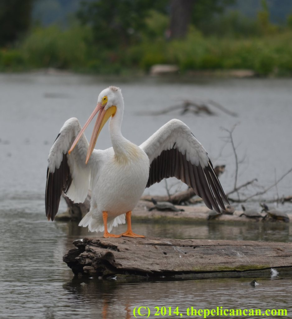 A pelican (american white pelican; Pelecanus erythrorhynchos) displaying her wings at White Rock Lake in Dallas, TX