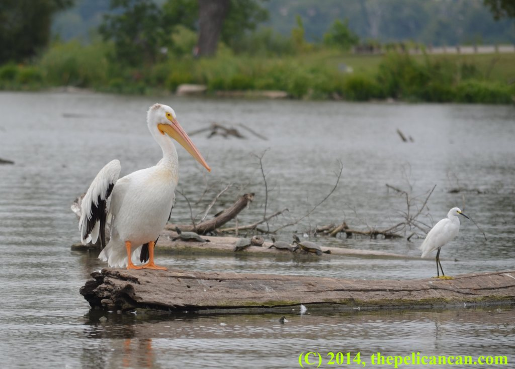 A pelican (american white pelican; Pelecanus erythrorhynchos) and a snowy egret (Egretta thula) stand on a log at White Rock Lake in Dallas, TX