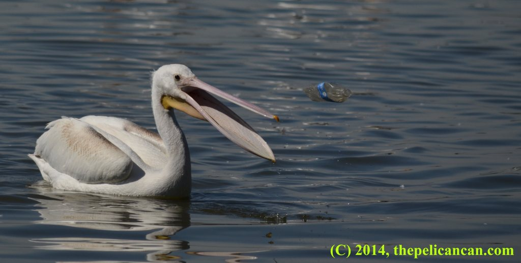 Juvenile pelican (american white pelican; Pelecanus erythrorhynchos) tosses a plastic bottle from her gular pouch in play