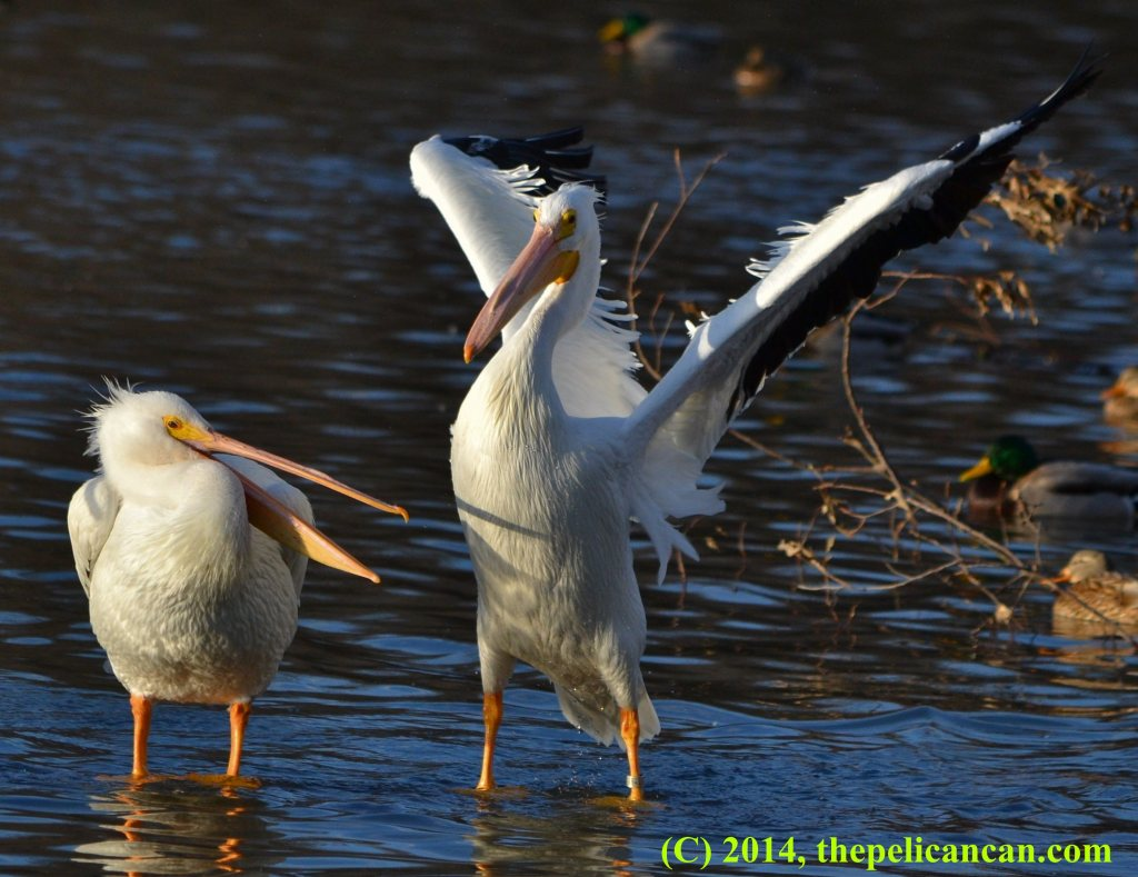Pelican (american white pelican; Pelecanus erythrorhynchos) beats her wings at White Rock Lake in Dallas, TX