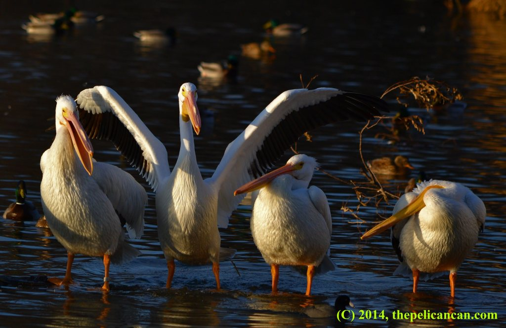 Four pelicans (american white pelicans; Pelecanus erythrorhynchos) stand on a log at White Rock Lake in Dallas, TX
