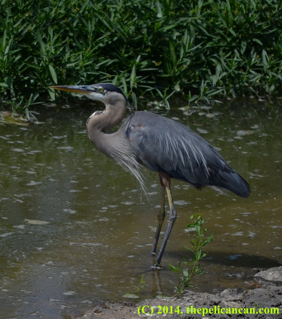 Great blue heron (Ardea herodias) standing in water at White Rock Lake in Dallas, TX