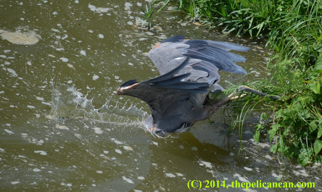 Great blue heron (Ardea herodias) dives into water, hunting for fish, at White Rock Lake in Dallas, TX