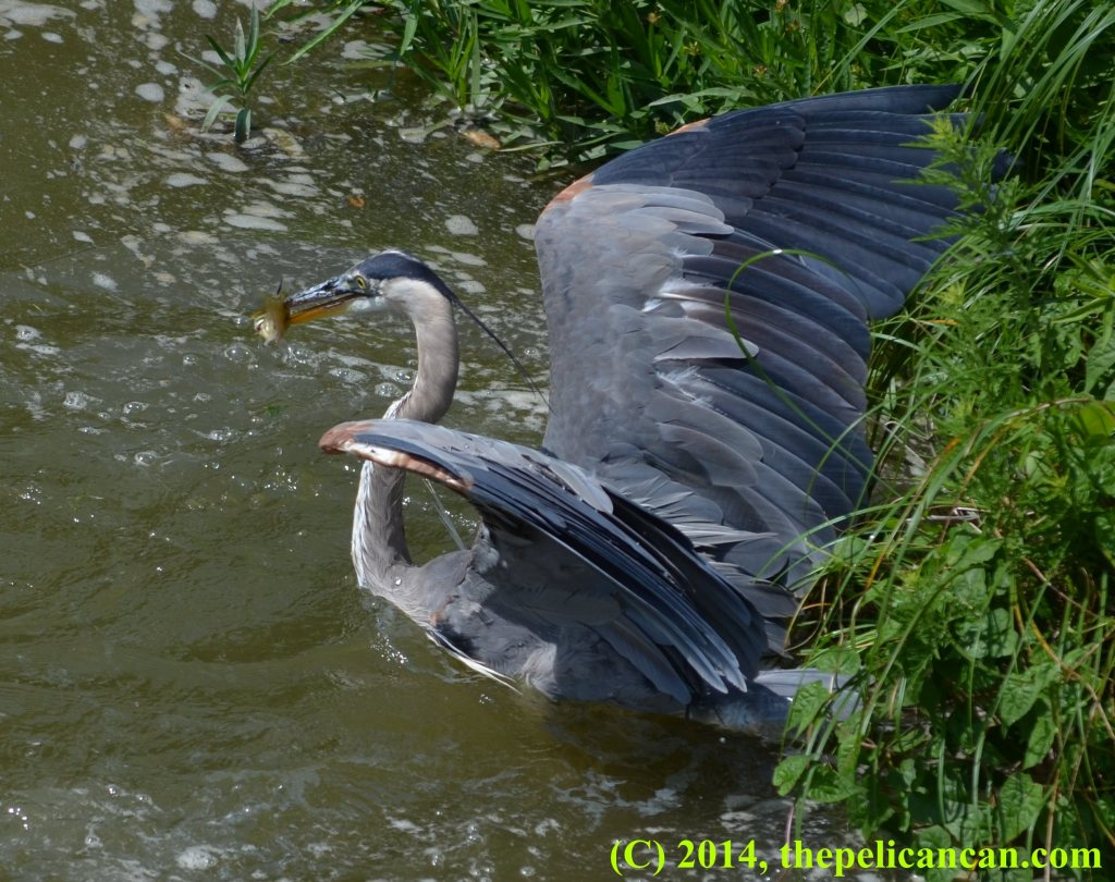 Great blue heron (Ardea herodias) emerges from water clutching a green sunfish at White Rock Lake in Dallas, TX