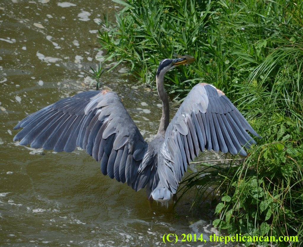 Great blue heron (Ardea herodias) holding a green sunfish at White Rock Lake in Dallas, TX