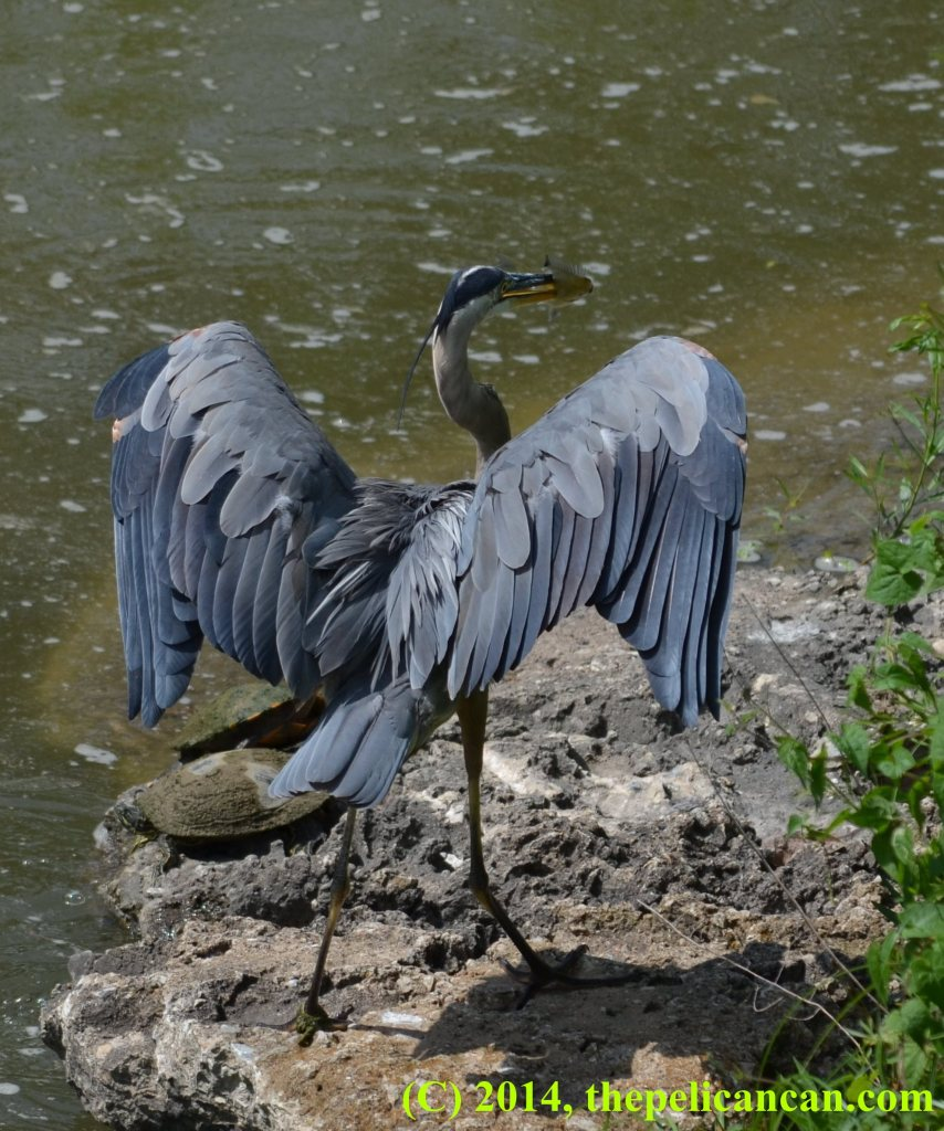 Great blue heron (Ardea herodias) holds a green sunfish at White Rock Lake in Dallas, TX