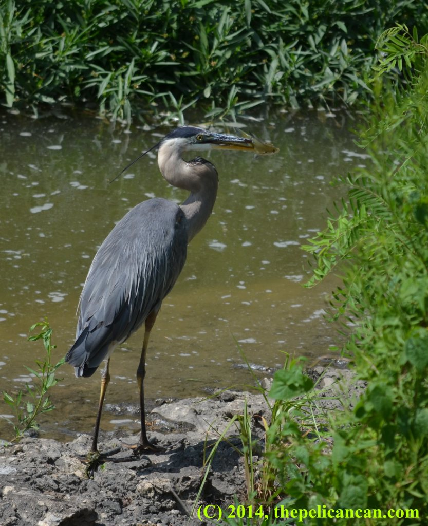 Great blue heron (Ardea herodias) holds a green sunfish in her beak at White Rock Lake in Dallas, TX