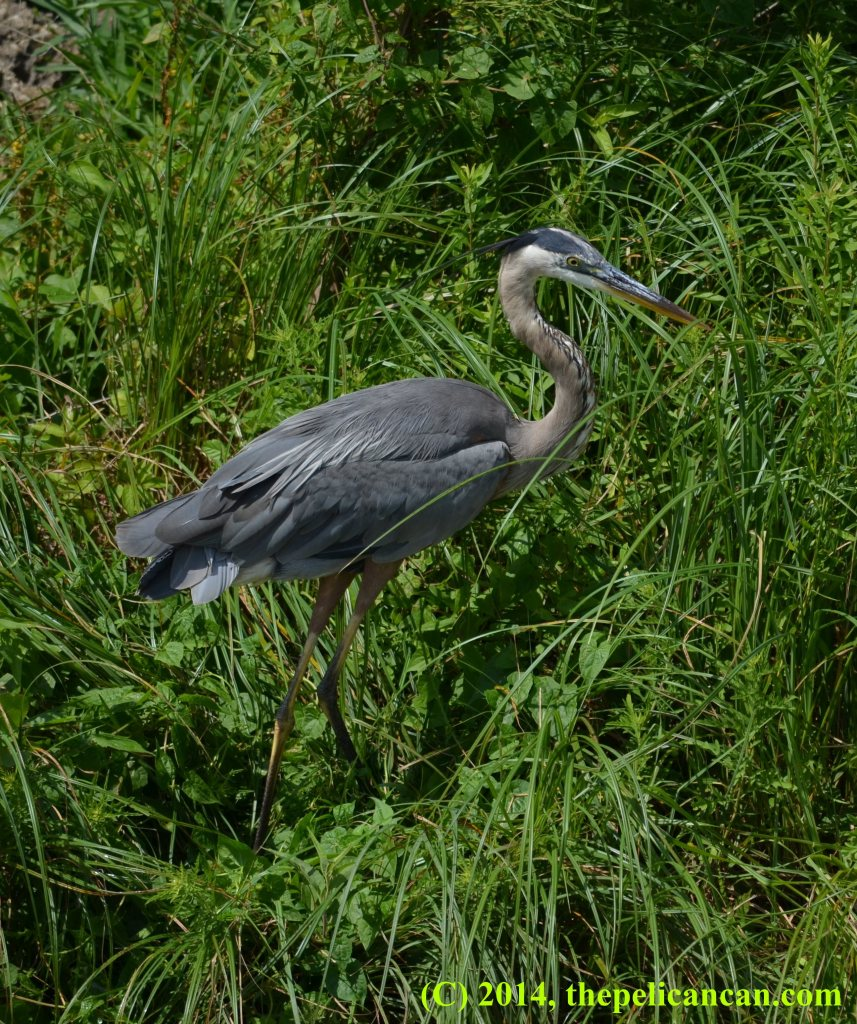 Great blue heron (Ardea herodias) at White Rock Lake in Dallas, TX
