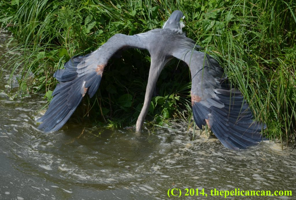 Great blue heron (Ardea herodias) bringing up a fish from water at White Rock Lake in Dallas, TX