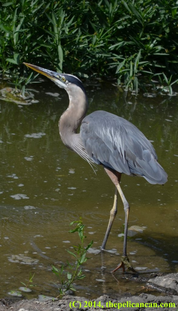 Great blue heron (Ardea herodias) in the water at White Rock Lake in Dallas, TX