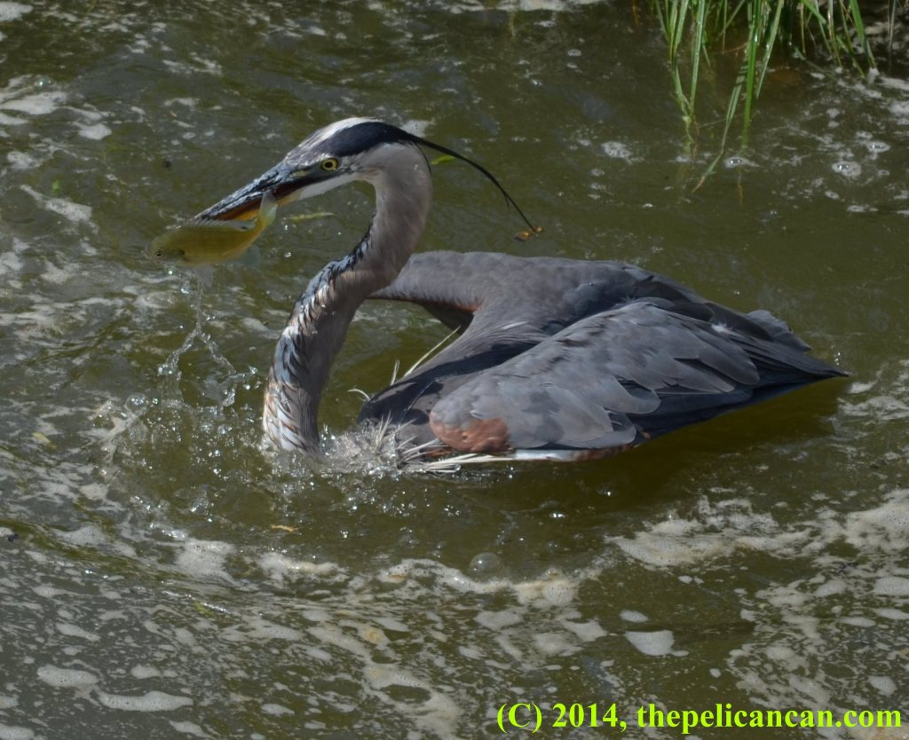 Great blue heron (Ardea herodias) emerges from water with a fish at White Rock Lake in Dallas, TX