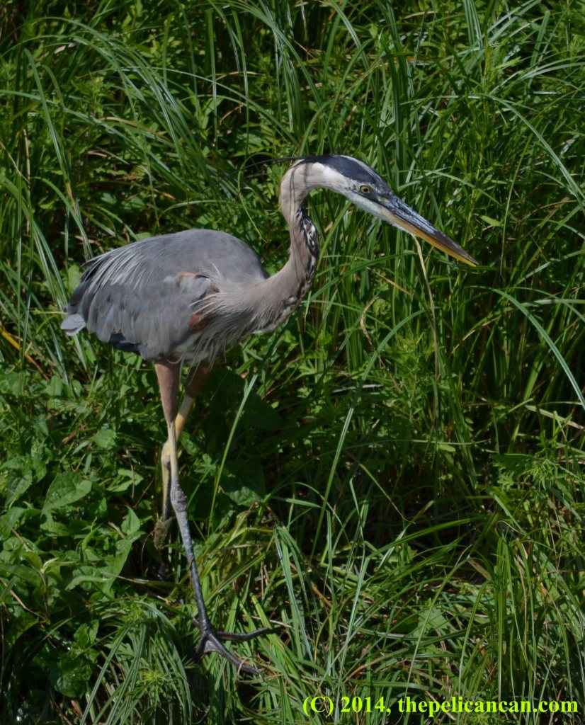 Great blue heron (Ardea herodias) walking through foliage at White Rock Lake in Dallas, TX