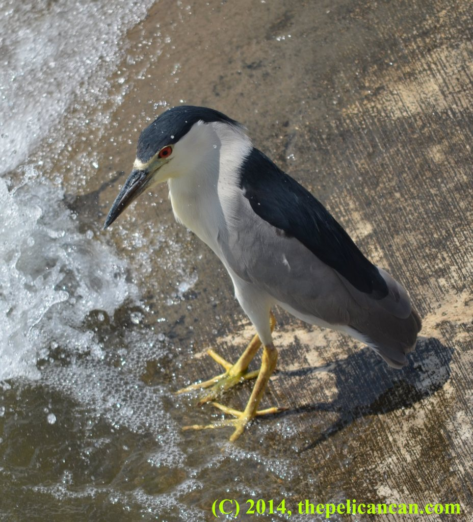 Black-crowned night heron (Nycticorax nycticorax) fishing from a concrete embankment at White Rock Lake in Dallas, TX