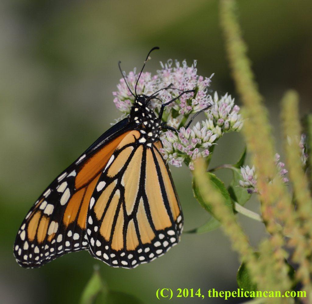 Female monarch butterfly (Danaus plexippus) drinking nectar from a flower at White Rock Lake in Dallas, TX
