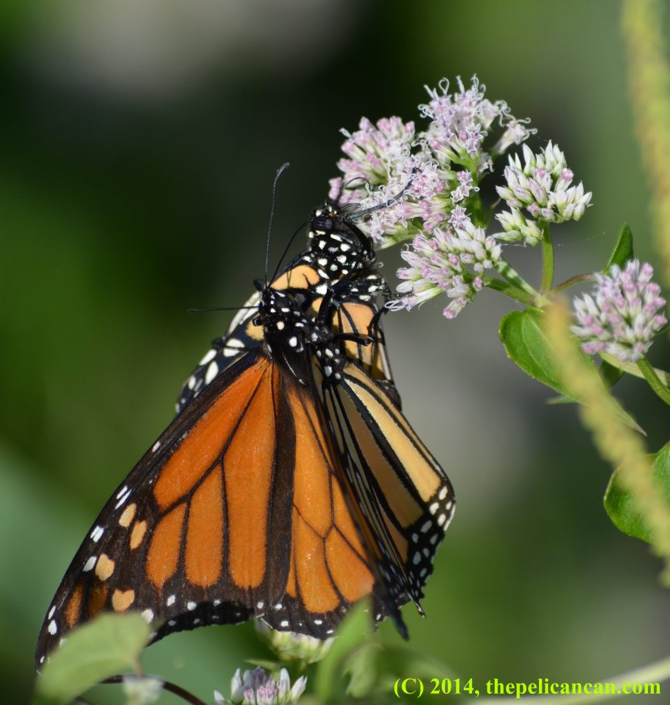 A male monarch butterfly (Danaus plexippus) on top of a female monarch butterfly at White Rock Lake in Dallas, TX