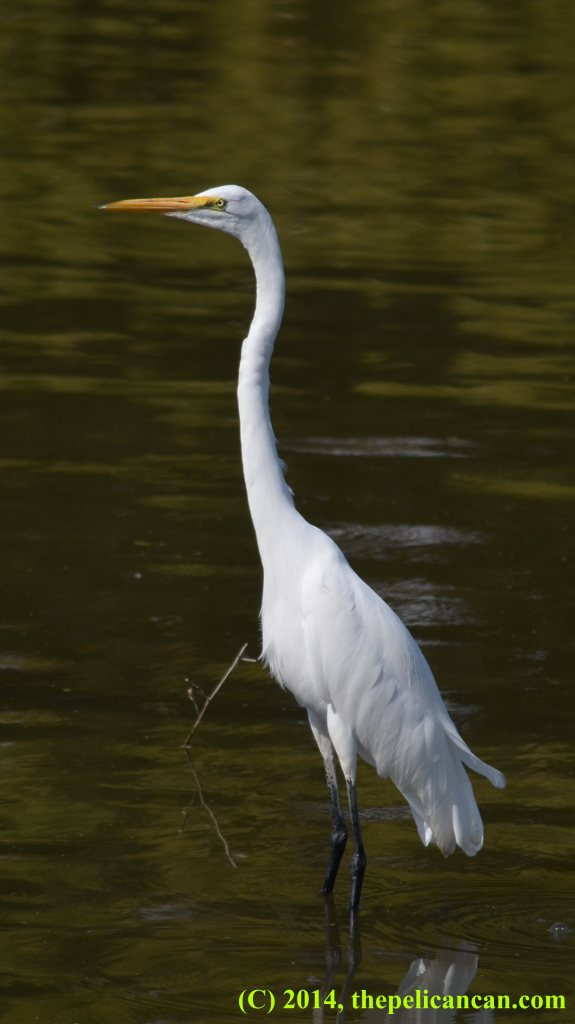 Great egret (Ardea alba) at White Rock Lake in Dallas, TX