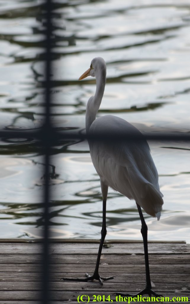 Great egret (Ardea alba) inside a boathouse at White Rock Lake in Dallas, TX