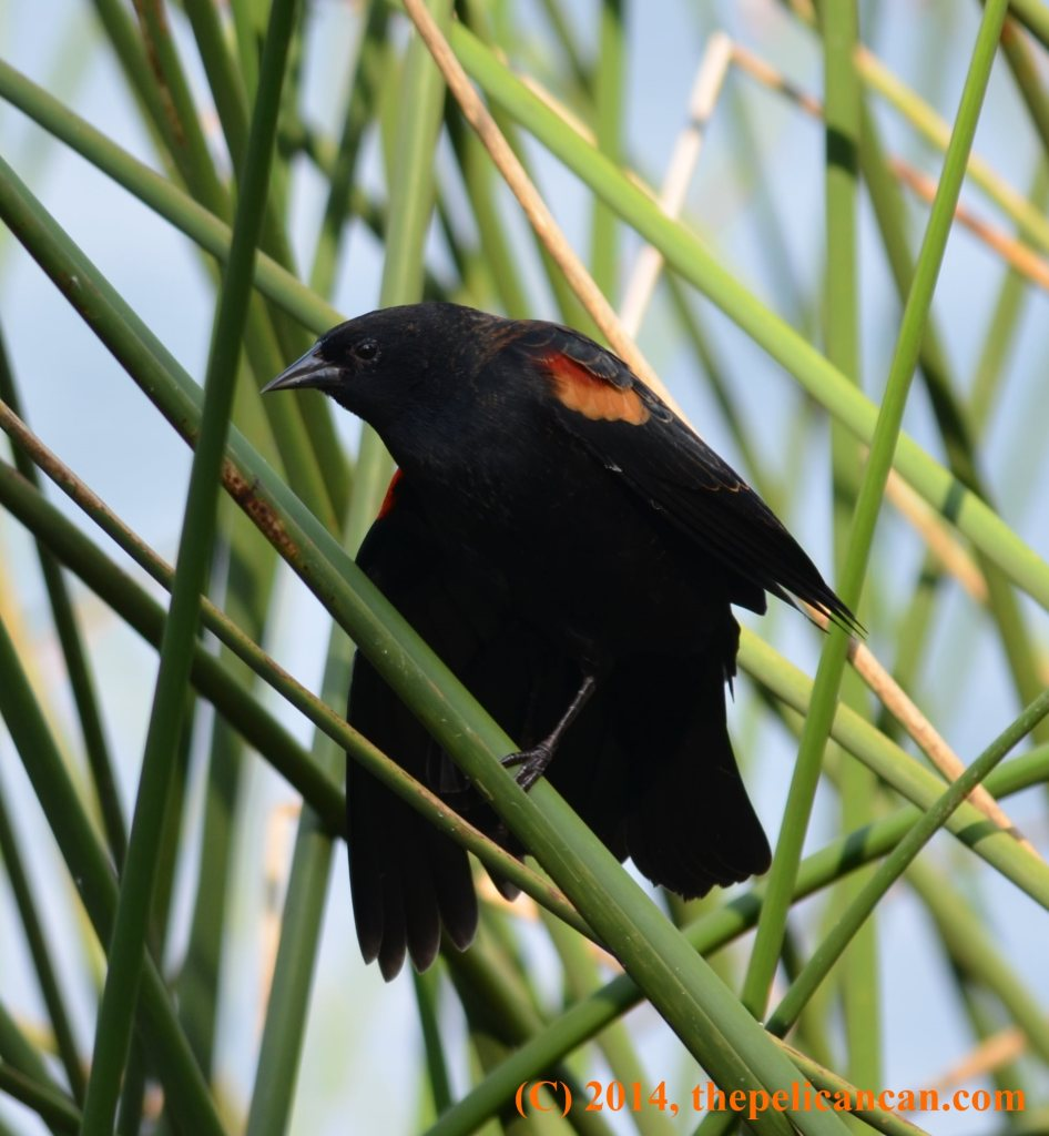 Male red-winged blackbird (Agelaius phoeniceus) perched on a reed at White Rock Lake in Dallas, TX
