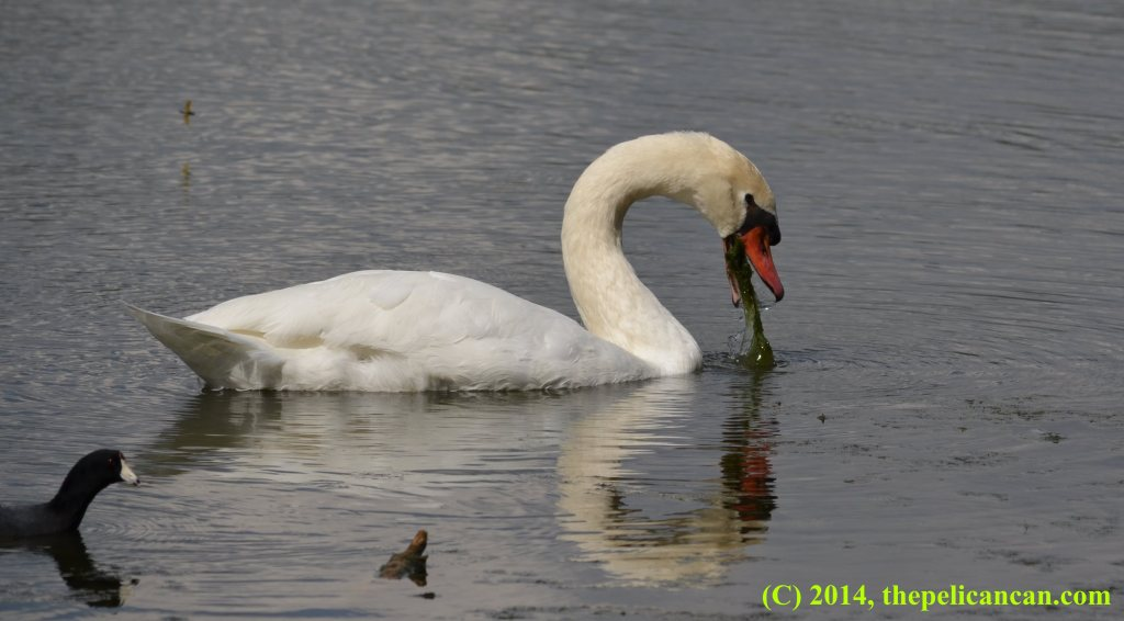 A mute swan (Cygnus olor) forages for food at White Rock Lake in Dallas, TX