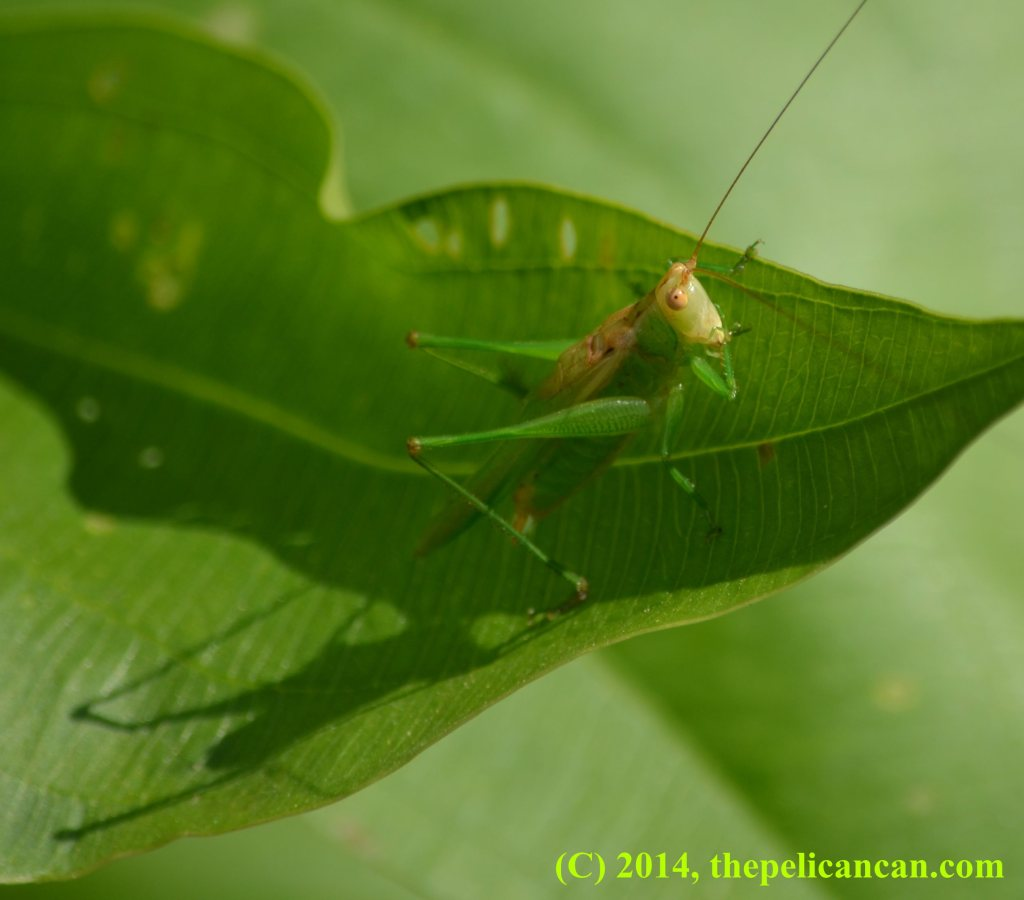 Katydid on a leaf at White Rock Lake in Dallas, TX