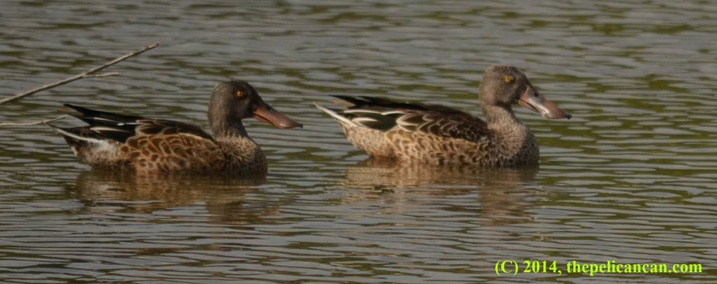 Two juvenile male northern shoveler ducks (Anas clypeata) swimming at White Rock Lake in Dallas, TX