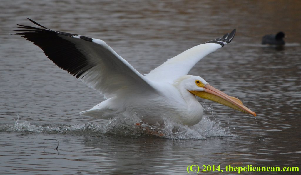 Pelican (american white pelican; Pelecanus erythrorhynchos) landing in the water at White Rock Lake in Dallas, TX