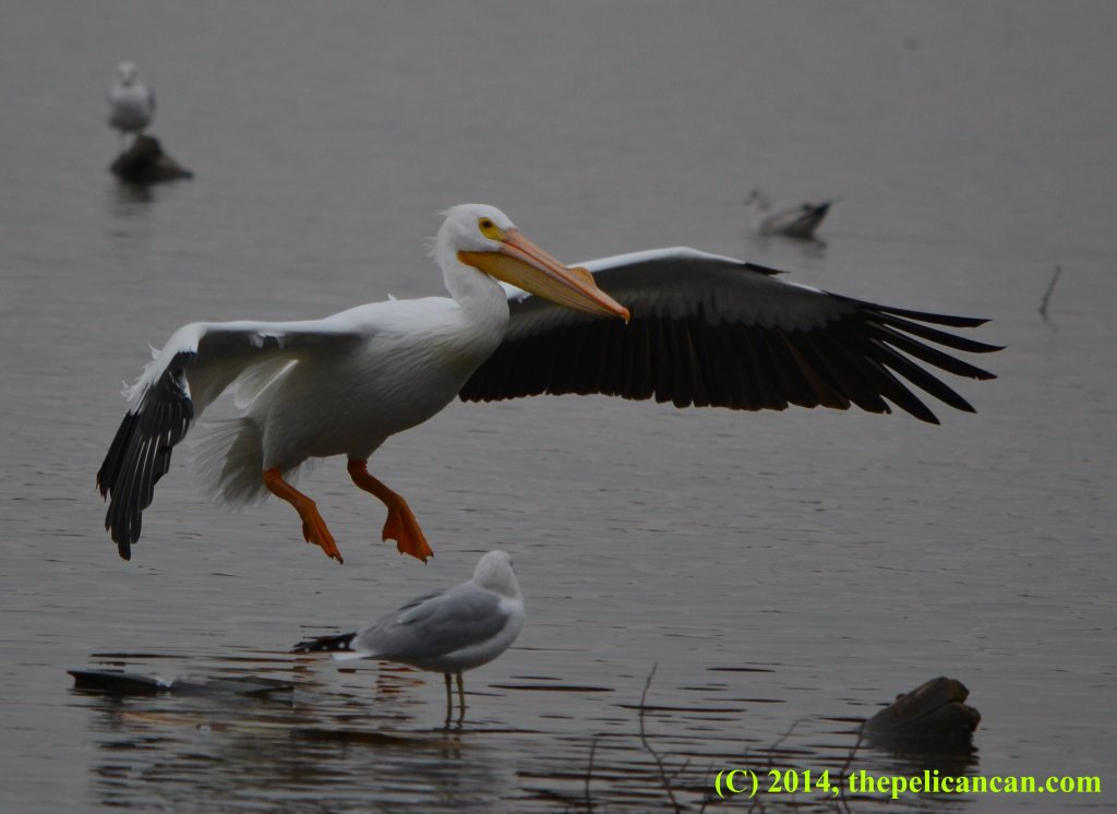 Flying pelican (american white pelican; Pelecanus erythrorhynchos) about to land at White Rock Lake in Dallas, TX