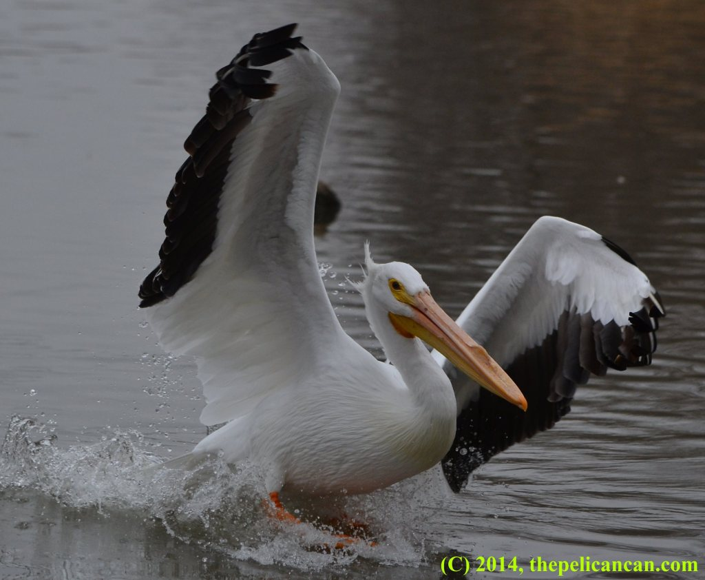 Pelican (american white pelican; Pelecanus erythrorhynchos) landing at White Rock Lake in Dallas, TX