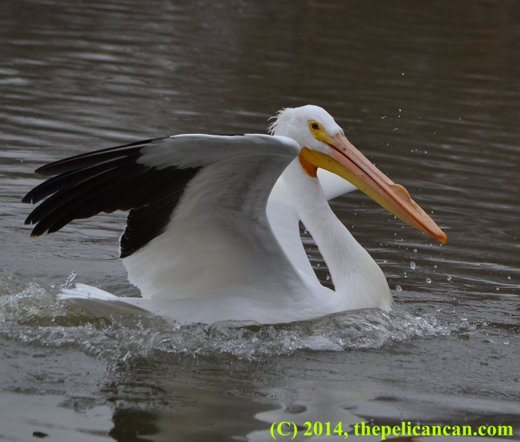 Pelican (american white pelican; Pelecanus erythrorhynchos) recovers from landing at White Rock Lake in Dallas, TX