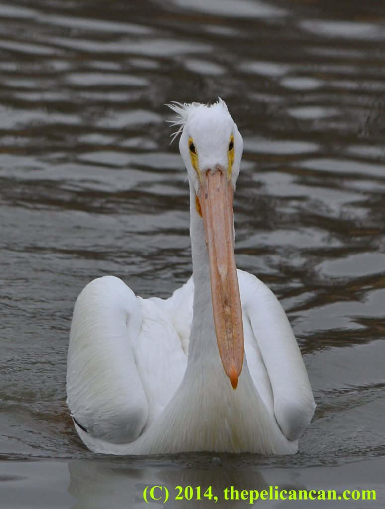 Pelican (american white pelican; Pelecanus erythrorhynchos) swimming toward a fish at White Rock Lake in Dallas, TX