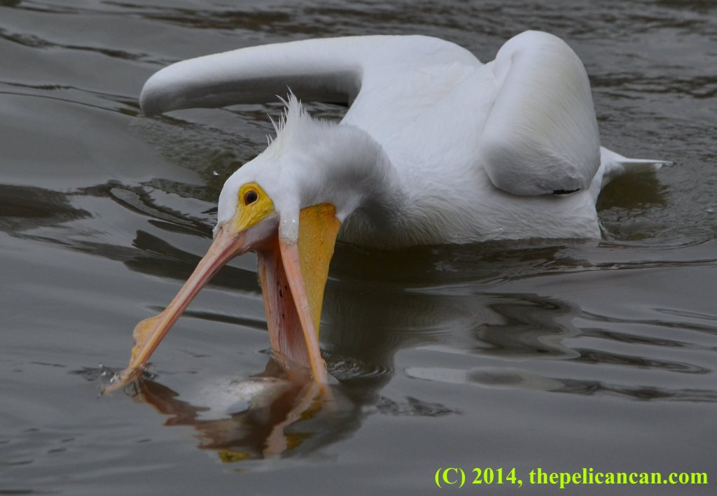 Pelican (american white pelican; Pelecanus erythrorhynchos) trying to scoop up a fish at White Rock Lake in Dallas, TX
