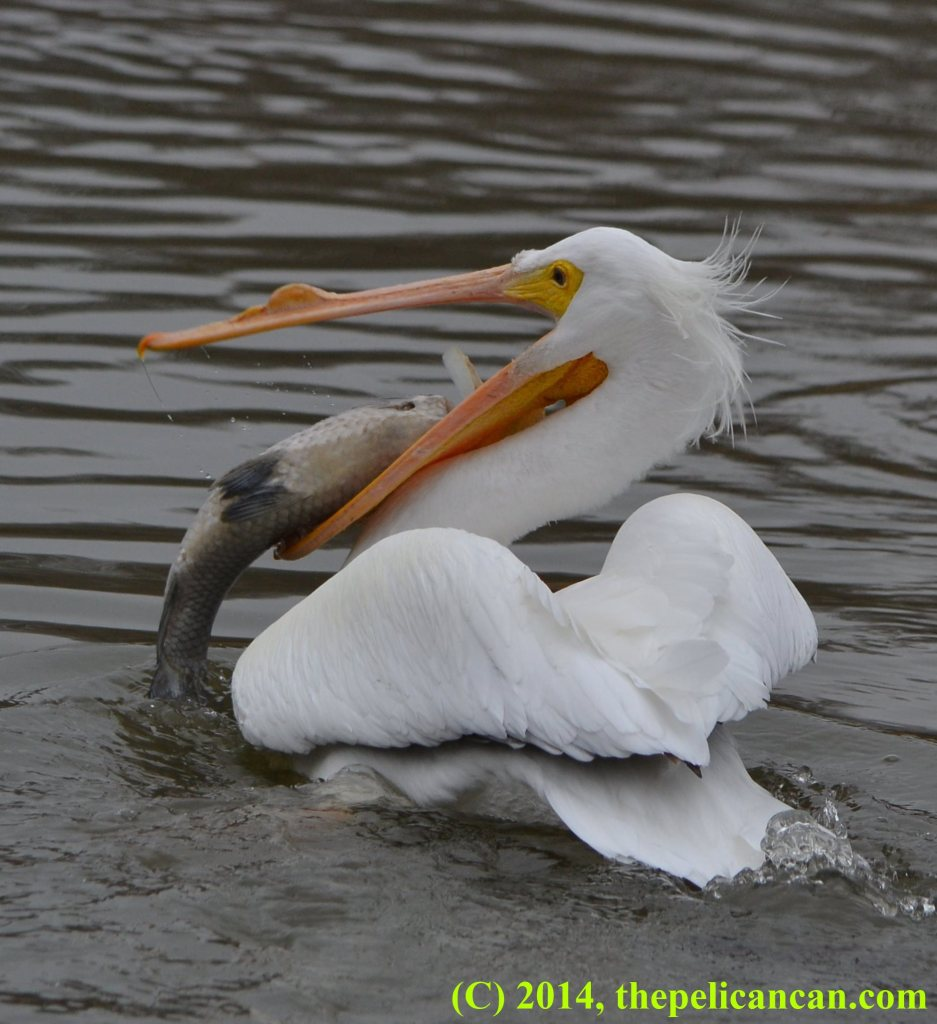 Pelican (american white pelican; Pelecanus erythrorhynchos) trying to reposition a fish in her gular pouch at White Rock Lake in Dallas, TX