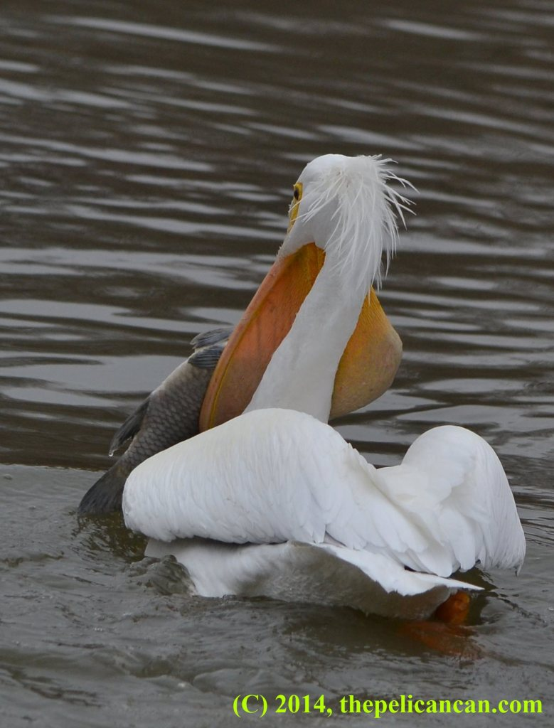 Pelican (american white pelican; Pelecanus erythrorhynchos) with half of a fish hanging out of her gular pouch at White Rock Lake in Dallas, TX
