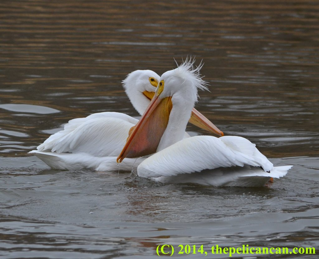 Pelican (american white pelican; Pelecanus erythrorhynchos) with a fish in her gular pouch swimming past another pelican at White Rock Lake in Dallas, TX
