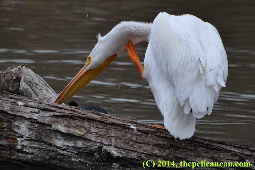 Pelican (american white pelican; Pelecanus erythrorhynchos) scratching while on a log at White Rock Lake in Dallas, TX