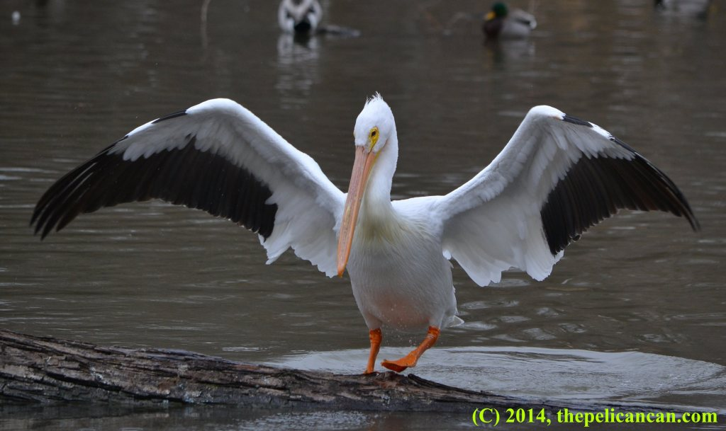 Pelican (american white pelican; Pelecanus erythrorhynchos) standing on a log with her wings spread at White Rock Lake in Dallas, TX