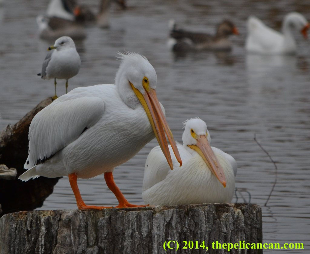Two pelicans (american white pelicans; Pelecanus erythrorhynchos) on a stump at White Rock Lake in Dallas, TX