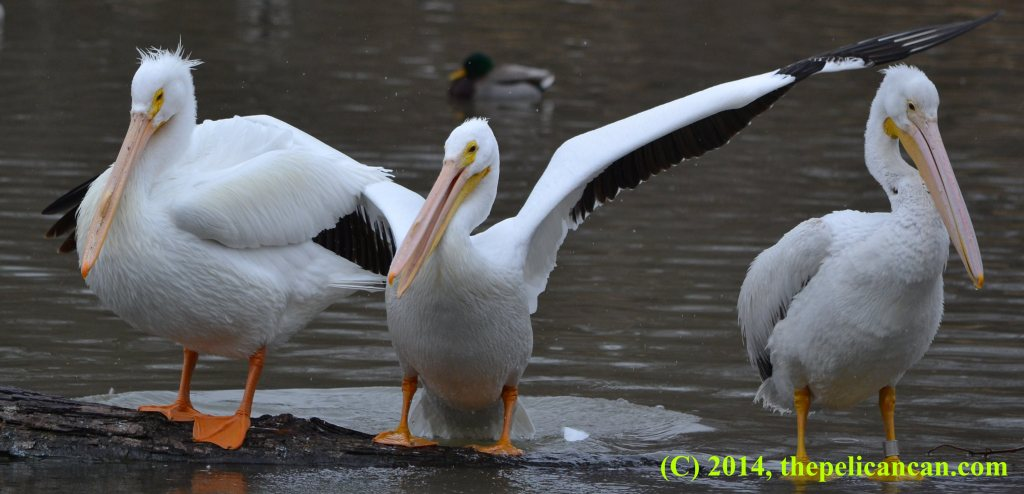 A pelican (american white pelican; Pelecanus erythrorhynchos) standing on a log, her wings outstretched, between two more pelicans at White Rock Lake in Dallas, TX