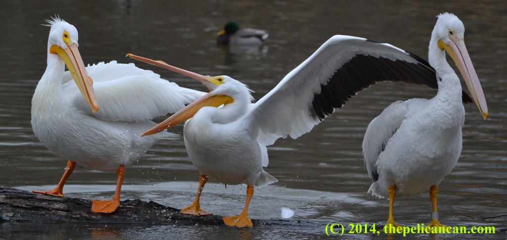 A pelican (american white pelican; Pelecanus erythrorhynchos) opens her beak as a threat toward another pelican while standing on a log at at White Rock Lake in Dallas, TX