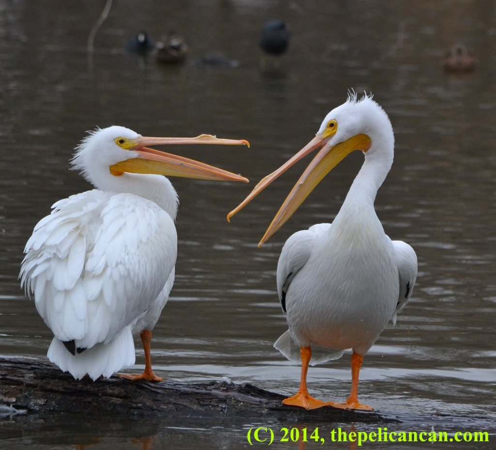 Two pelicans (american white pelicans; Pelecanus erythrorhynchos) standing together on a log at White Rock Lake in Dallas, TX