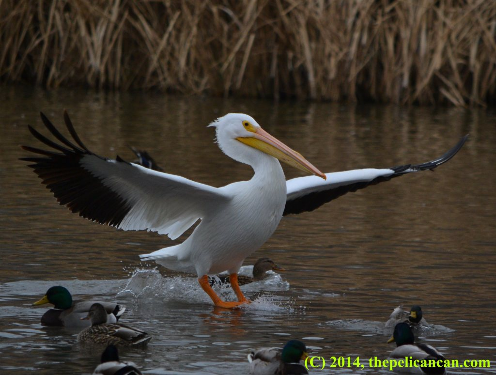 A pelican (american white pelican; Pelecanus erythrorhynchos) landing on water at White Rock Lake in Dallas, TX