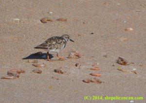 A ruddy turnstone (Arenaria interpres) on the shore of the Atlantic Ocean at Canaveral National Seashore
