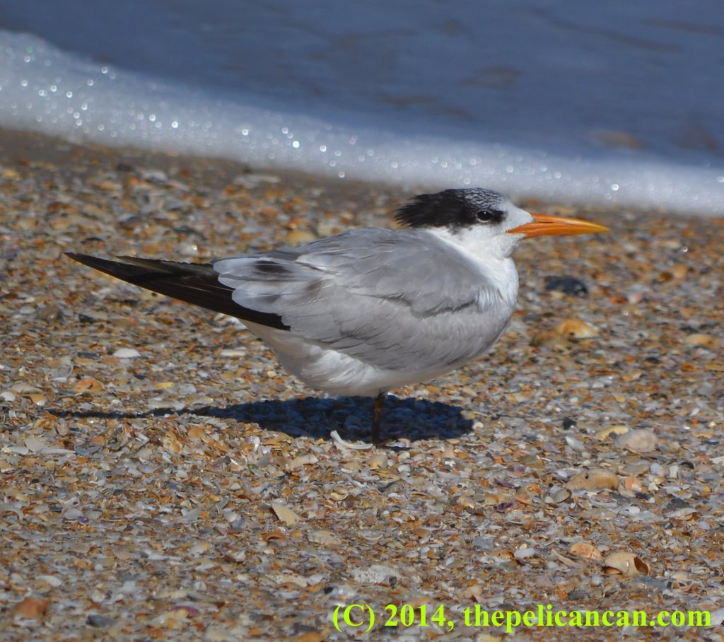 A royal tern (Thalasseus maximus) on the shore of the Atlantic Ocean at Canaveral National Seashore