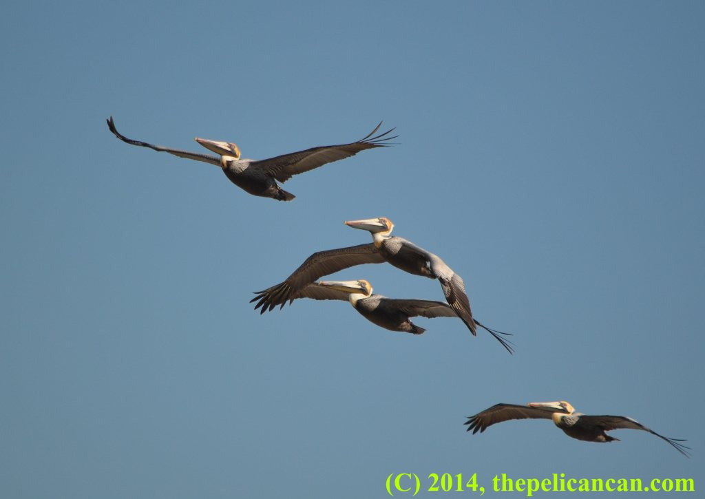 Four brown pelicans (Pelecanus occidentalis) flying over the Atlantic Ocean at Canaveral National Seashore