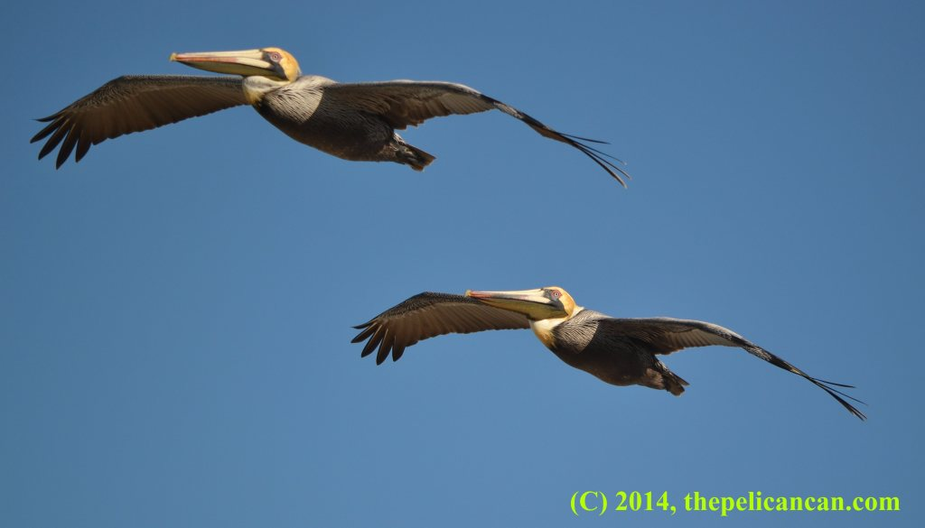 Two brown pelicans (Pelecanus occidentalis) flying over the Atlantic Ocean at Canaveral National Seashore
