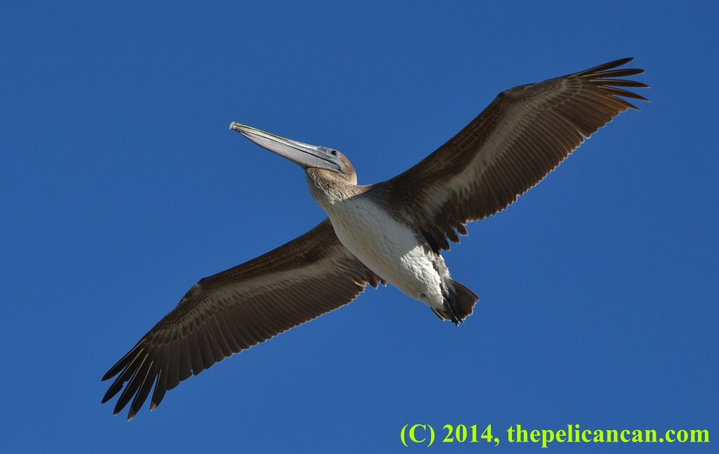 Juvenile brown pelican (Pelecanus occidentalis) flying over the Atlantic Ocean at Canaveral National Seashore